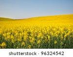 Yellow Field Rapeseed In Bloom