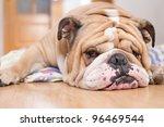 english bulldog portrait   Shutterstock . vector #96469544