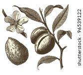 almond tree    vintage engraved ... | Shutterstock .eps vector #96539122