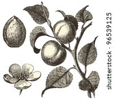 Apricot Tree   Vintage Engraved ...