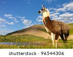 Llama at Taylor Lake in the Rocky Mountains, Colorado. - stock photo