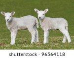 Lamb Grazing In Rural Field