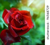 Stock photo red rose as a natural and holidays background 96568729