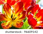 Parrot Tulips   Funny Spring...