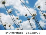 beautiful summer wild ox-eye daisies, view from the ground - stock photo
