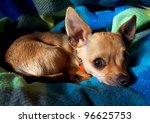 a chihuahua looking at the camera - stock photo