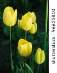 Beautiful yellow tulips in springtime. - stock photo