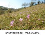 Beautiful crocus flower meadow on the hills of the Carpathian mountains. - stock photo