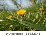 Dandelion flower meadow in springtime. - stock photo