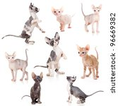 Stock photo hairless canadian and don sphynx kittens set 96669382