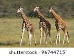 Three Rothschild Giraffe ...