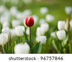One Red Tulip In A Sea Of Whit...