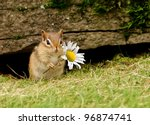 Stock photo cute baby chipmunk holding a daisy 96874741