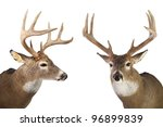 Two Large Whitetail Bucks...