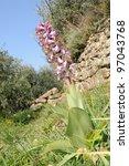 Small photo of wild orchid (Barlia robertiana) in its mediterranean anthropic habitat