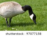 A Canada Goose Eating With A...
