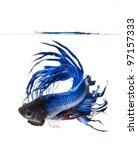 betta pet fish, Siamese fighting fish isolated on white background - stock photo