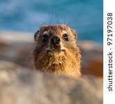 Curious Hyrax In Head Close Up...