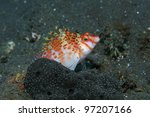 Dwarf hawkfish in the tropical waters of bali - stock photo