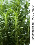 rosemary herb growing - stock photo