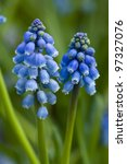 grape hyacinth or muscari in close up - stock photo