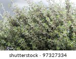 thyme silver queen growing - stock photo