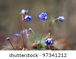 Small Flowers Anemone Hepatica...
