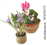 Cyclamens and crocuses in a basket on a white background are isolated - stock photo