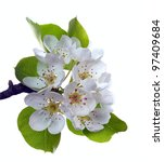 branch of pear flower isolated... | Shutterstock . vector #97409684