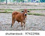 Cow grazing on pasture - stock photo