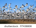 Thousands Of Snow Geese Fly...