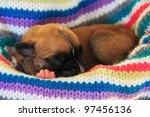 Newborn Boxer Puppy Sleeping I...