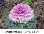 Purple Kale In Spring
