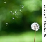 blown dandelion | Shutterstock . vector #97572479