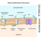 Structure of plasma membrane - stock photo