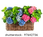 beautiful hydrangea on white...   Shutterstock . vector #97642736