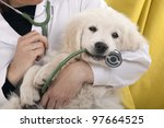Stock photo golden retriever puppy playing with a stethoscope vet 97664525