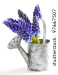 muscari or grape hyacinth isolated on a white background - stock photo