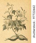Sweet Potato   Old Illustratio...