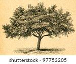 Blooming Apple Tree   Old...