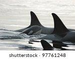 A Killer Whale Calf Surfaces ...