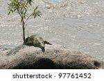 Crocodile Sunbath On The Rocks...
