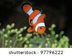 Clownfish and yellow sea anemone