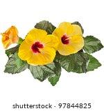 Yellow Hibiscus Flower Isolate...
