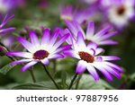 Purple Flowers in the Garden in Early Spring - stock photo
