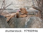 Lioness Licking Its Paw
