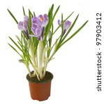 Close up of beautiful spring crocus flowers over white background. - stock photo