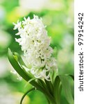 Beautiful White Hyacinth In...