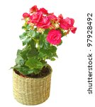 Room plant a pink begonia on a white background is isolated - stock photo