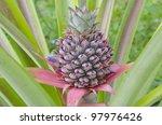 fresh tropical pineapple... | Shutterstock . vector #97976426